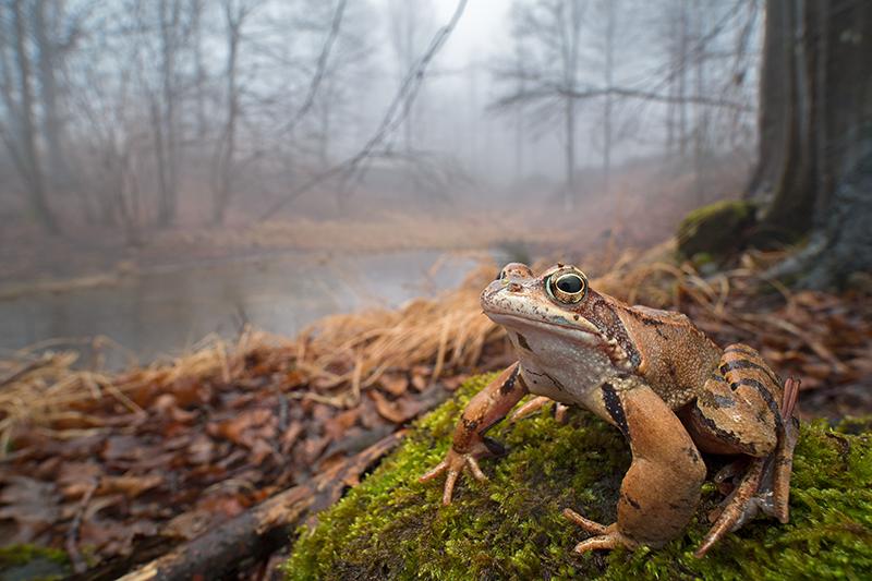 Una rana temporaria in un bosco d'autunno..