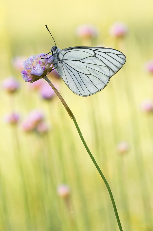 Pieride del biancospino posata su un fiore.